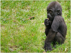 Ayo (gosammy1971) Tags: tamronsp150600 7aii affen altweltaffen animal apes augen ayo baby duisburg eyes fell fur gorilla hominidae mapema menschenaffen metabones momo sony zoo zooduisburg black lowland primate tamron