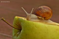 Junge Weinbergschnecke (GerWi) Tags: schnecken weinbergschnecken snails nature natur outdoor tiere kriechtiere schneckenhaus apfel makro tier insekt