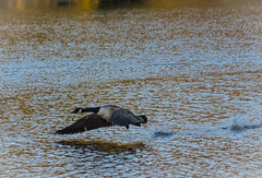 Up-Up-& Away (richie_green16v) Tags: canadiangoose wildlife bird lake takeoff action actionshot nature