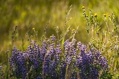Wildflowers (HubbleColor {Zolt}) Tags: wildflowers travel yellowstonenationalpark flowers wy wyoming