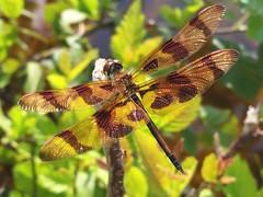 Halloween Pennant (rstickney37) Tags: odonata odonates northcarolinaodonates dragonfly northcarolinadragonflies celithemis celithemiseponina halloweenpennant
