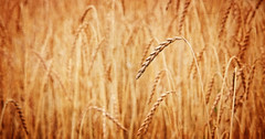 Remember The Heat of Summer (macplatti) Tags: summer wheat heat remember souvenir erinnerung heissersommer sommer flora nature getreide memory yellow xf35mmf2r on1photo10 koblach vorarlberg austria aut alienskinsoftware