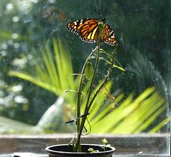 A Beautiful Monarch (sallyNZ) Tags: scavenger18 monarch butterfly chrysalis winteronourwindowsill 52in2016 justbecause joy