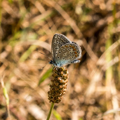 Common Blue butterfly (DigPeter) Tags: bulgaria butterfliesblues butterflymoth commonblue europe peterphoto bachkovo plovdiv