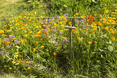 Gold (FIDDYONE) Tags: 2014theallotmentlarkhalljuly summer flowers spade sunny hot