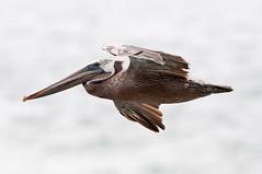 Flight Pelican 151 Coming in for landing (martytdx) Tags: ca july sanfrancisco birding birds pelican brownpelican pelecanusoccidentalis pelecanus pelecanidae flying fishermanswharf californiabrownpelican pelecanusoccidentaliscalifornicus
