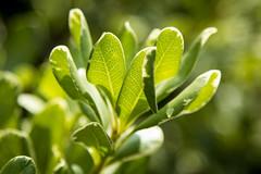 Leaf - still attached (tarboxje) Tags: leaves greenleaves pittosporum varigatedleaves