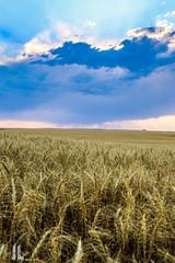 IMG_8581 (larzz4444) Tags: chester montana winterwheat chestermontana gleaner drylandfarming sweatgrasshills joplinmontana wheatharvest sunset