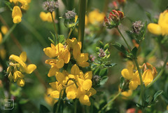 Greater bird's foot trefoil. Mountain Lakes golf course, August 1999 (Mary Gillham Archive Project) Tags: blaengwynlais greaterbirdsfoottrefoil lotuspedunculatus planttree st1484 wales 14104 1999 august1999 caerphilly