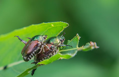 Love is in the air! (tquist24) Tags: elkhart indiana islandpark japanesebeetle nikon nikond5300 bokeh bug couple geotagged green insect leaf macro mating nature pair park summer unitedstates