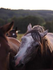 Chevaux de Chamberet (franki2correze) Tags: cheval haras horse