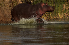 Diving in!! (crafty1tutu (Ann)) Tags: travel holiday 2016 southafrica africa animal hippopotamus mother baby water crafty1tutu canon7dmkii anncameron ef100400mmf4556lisiiusm naturethroughthelens