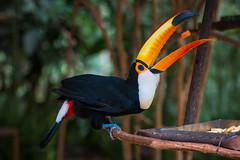 Toucan - Parque das Aves (Gryshchenko) Tags: toucan birds animals wildlife parquedasaves parque das aves brazil park national argentina brasil nacional iguazu parquenacionaliguazu