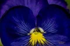 blue pansy (mariola aga) Tags: chicagobotanicgarden glencoe summer garden flower pansy blue macro closeup thegalaxy