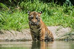 Nelson (ToddLahman) Tags: sandiegozoosafaripark safaripark canon7dmkii canon100400 canon sumatrantiger babysumatrantiger tigers tiger tigertrail tigercub teddy joanne nelson pond exhibitb