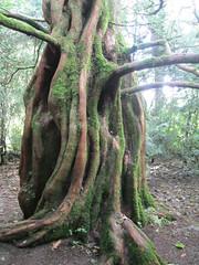 Dawn Redwood,Trewidden Garden, near Penzance, Cornwall (golygfa) Tags: historicgarden cornwall garden trewidden dawnredwood