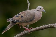 Eared dove (PriscillaBurcher) Tags: zenaidaauriculata torcaza torcazanagiblanca trtola trtolatorcaza zenaida palomacollareja blueeareddove eareddove violeteareddove winecoloreddove dsc3363