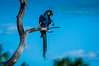 "Hyacinth Macaw <a style=""margin-left:10px; font-size:0.8em;"" href=""http://www.flickr.com/photos/41134504@N00/16726618304/"" target=""_blank"">@flickr</a>"