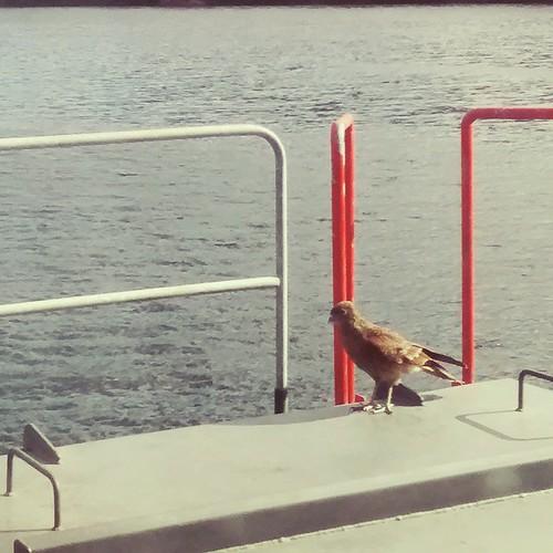 #Tiuque #avechilena #BirdBirdBirdTheBirdIsTheWord