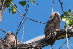 Two sibling Great Horned Owl owlets get some rest