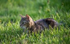 kitty (38) (Vlado Ferenčić) Tags: cats pets kitchen animals kitty croatia catsdogs mygroup hrvatska hrvatskozagorje nikkor8020028 zagorje nikond600 klenovnik