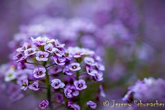 Sweet Alyssum (Jeremy Schumacher) Tags: plant flower garden nikon purple sweet 40mm alyssum maritima d5000 loularia