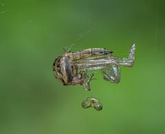 The Headless Snaketail (Bonnie Ott) Tags: rustysnaketail fortfrederick spider spiderfeedingondeadrustysnaketail spiderfeedingondeaddragonfly ophiogomphusrupinsulensis larinioidescornutus furroworbweaver bonniecoatesott