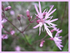 IMG_23531 (RythiInBlack) Tags: flower nature fleur plante marais flore brenne