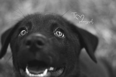 (Tc photography. Per) Tags: light dog pet black cute monochrome canon puppy 50mm eyes happiness retriever doggy brightness tcphotography
