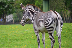 Zebra (emmajanerigby) Tags: animals photography zoo nikon wildlife chester zebra chesterzoo d3300