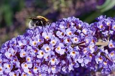 IMGP1653 (Fan Majie ) Tags: bumblebee mimicry janvanhoutkade leiden bugs