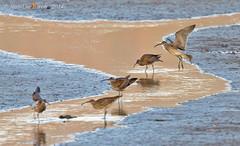 Whimbrel (Numinius phaeopus) (Jeluba) Tags: 2014 australia australie courliscorlieu whimbrel oiseau bird aves nature wildlife birdwatching ornithology horizontal canon regenbrachvogel numeniusphaeopus