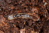 Maggot? (zosterops) Tags: australia tasmania castra canoneos6d canonmacrolensmpe65 macro insecta diptera maggot keroplatidae