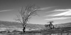 ScrubTrees II (Joe Josephs: 2,861,655 views - thank you) Tags: landscapephotography landscapes landscape california californiacentralcoast californiacoast californialandscape travelphotography travel joejosephsphotography joejosephs joejosephstravelphotography outdoorphotography fineartphotography fineartprints photojournalism photographynikon blackandwhitephotography