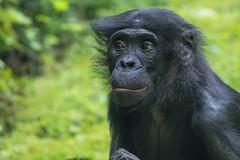 2016-07-07-0136 (BZD1) Tags: bonobo animal synapsida mammal prim haplorhini hominidae hominini pan nature koelnerzoo panpaniscus