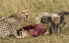 Cheetah and Cubs Feeding on Gazelle Kill (John Hallam Images) Tags: chhetah cubs feeding gazelle kill mara masaimara kenya safari
