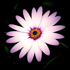 African Daisy (JulieK (moving house, very busy)) Tags: ireland irish flower petals cork squareformat bloom africandaisy newmarket hss sliderssunday jamesokeeffeinstitute canonixus170 2016onephotoeachday