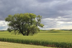 Alone but not lonely (Miss Q Pix) Tags: field washington roadtrip pnw palouse easternwashington thatonetree