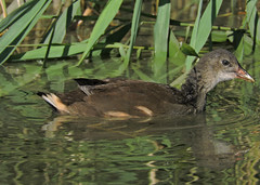 le concentr (laetitiablableuse) Tags: nature val marne ile france banlieue suburb animal gallinule poule deau juvenile eau water lac lake reflet reflection oiseau bird through eyes awesome fantastic world magic group toutes merveilles fauna flora passion