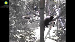 2016_07-14o (gkoo19681) Tags: nationalzoo dangling meixiang beibei patientlywaiting ccncby