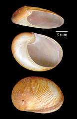MOL_2814_S_perspectivum_6187_01_338x524.gif (MaKuriwa) Tags: mollusca gastropoda naticidae mesogastropoda sinum