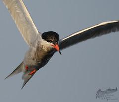 Common Tern 7_18 close up (krisinct- Thanks for 12 Million views!) Tags: nikon g 500 f4 vr d500
