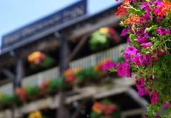 Flowers - The Dickens Inn (Buyruk Alparslan) Tags: uk flowers orange green london yellow inn united magenta kingdom dickens a6000 sel50f18