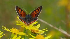 Kleiner Feuerfalter (Lycaena phlaeas) (Oerliuschi) Tags: kleinerfeuerfalter lycaenaphlaeas makro butterfly fluginsekt schärfentiefe panasonic lumixgx8 olympusm60 blumen blüten jakobskraut gelb orange braun rot