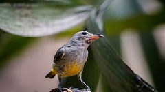 Orange-bellied Flowerpecker (female) (arnewuensche66) Tags: orangebelliedflowerpecker flowerpecker birds animals nature fauna avifauna wildlife vögel tiere orangebauchmistelfresser dicaeumtrigonostigma