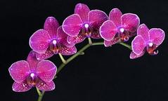 Purple friends (jeff's pixels) Tags: purple orchid macro flower plant nikon d750 nature