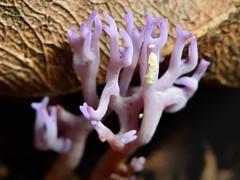 lilac coral fungus (dt_images) Tags: ramariopsispulchella fungi lilaccolour branching wellington newzealand otari macro