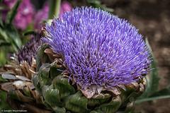 P1000282.jpg (J.Weyerhuser) Tags: markt oppenheim nik colorefex botanischergarten artischocke blte