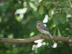 Baby Bluebird (loire61) Tags: baby bluebird