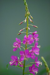 / Chamaenerion angustifolium (nobuflickr) Tags: 20160625dsc03571  chamaenerion angustifolium  awesomeblossoms angustifolium  chamaenerionangustifolium